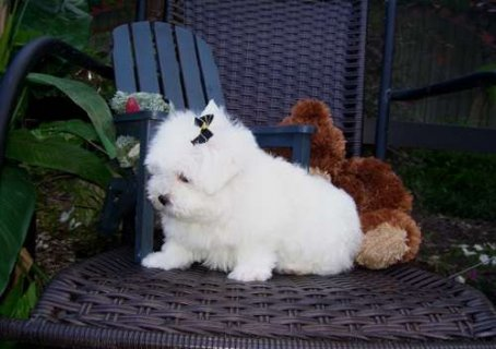 Lovely Tea Cup Maltese Puppies