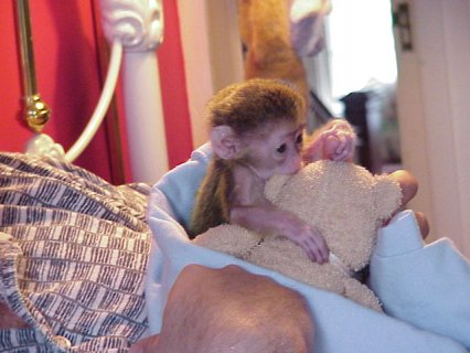 Well Trained Capuchin Monkeys $250.00  Small, cute and healthy L