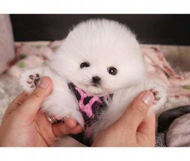 Cute Charming Male and Female Teacup Pomeranian puppies For Sale