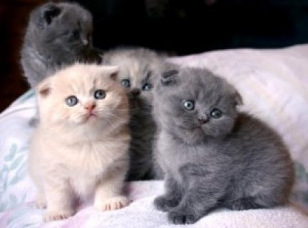 Kittens Scottish fold for Adoption..