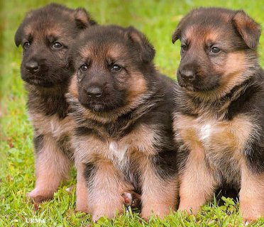 German Shepherd puppies for a new home(for sale)