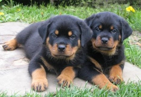 We have 2 gorgeous rottweiler puppies for sale.