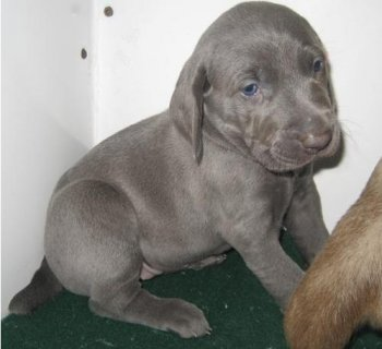 Adorable Male and Female Weimaraner puppies.,