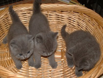 Pedigree GCCF British Shorthair kittens ready soon !