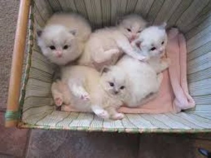 Adorable Ragdoll Kittens for Sale contact +237 79320405 For More