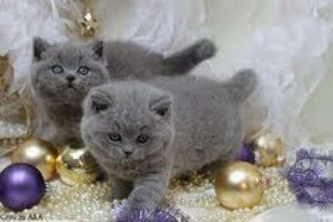 British Short Hair Kittens Available For Rehoming,.