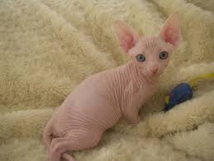 Beautiful Sphynx Kittens for sale contact +237 79320405