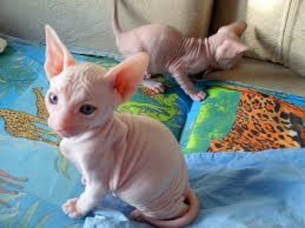 Blue Eyed Canadian Sphynx Kittens for sale
