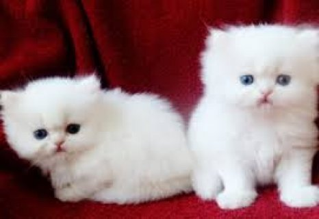 Lovely Persian Kittens for sale