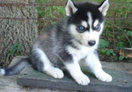Cute Siberian Husky Puppies with Blue Eyes For Rehoming
