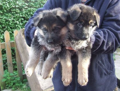 Male And Female German Shepherd Puppies Available For New Homes