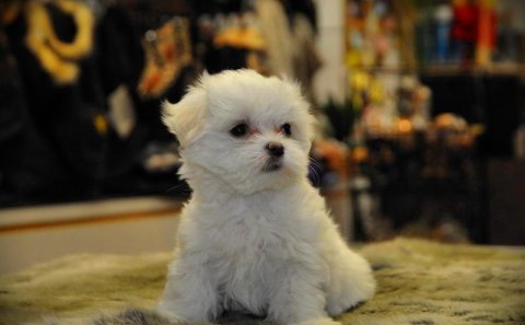 Must See Male And Female Maltese Puppies For Rehoimng