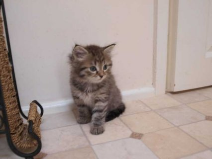 صور Cute Siberian Kittens ready to go For Good Homes 1
