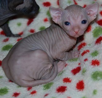 Cutest Registered Sphynx Kittens Available For Sale