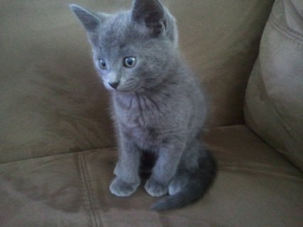 Home Trained and Hand Raised Russian Blue Kitten for Caring Home