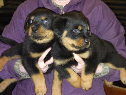 Cute Gorgeous Rottweiler Puppies For Rehoming