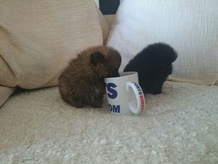 Grey Male and Black Female Tiny Teacup Pomeranian Puppies