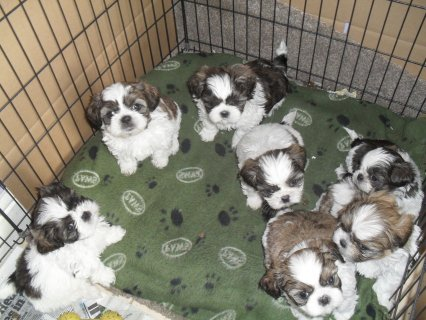 Breath Taking shih tzu Puppy