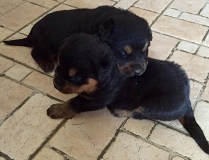 صور Rottweiler  puppies available. 1