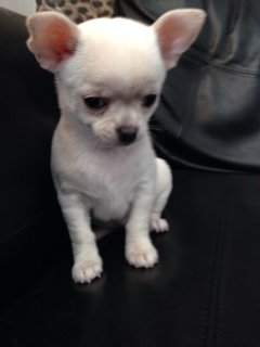 Chihuahua  Puppies Available Free