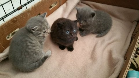 Cute british shorthair Kittens Currently Available