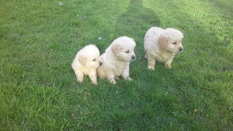 Outgoing golden retreiver Puppies Available