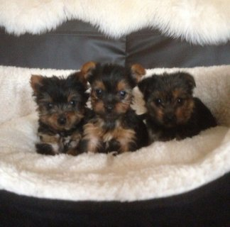 Small Male Yorkie Pupies