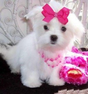 Lovely T-Cup Maltese Puppies Available