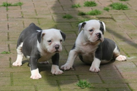 English Bulldog Puppies available For Sale