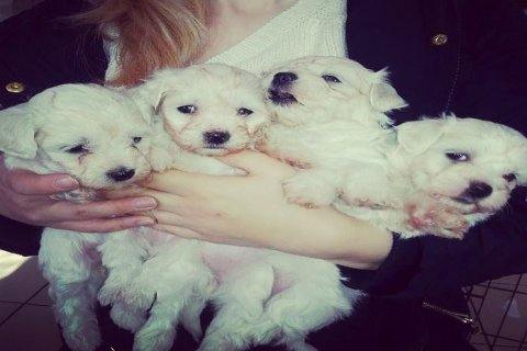 صور Cute and Adorable Maltese Puppies for Sale 1