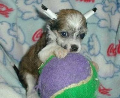 صور Chinese Crested Puppies for Sale 1