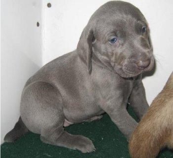 Weimaraner puppies for adoption11