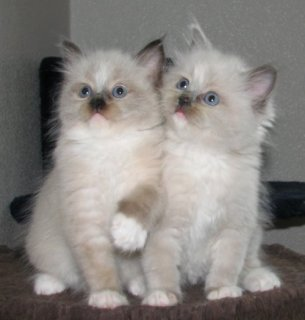 Ragdoll Kittens For New Home222