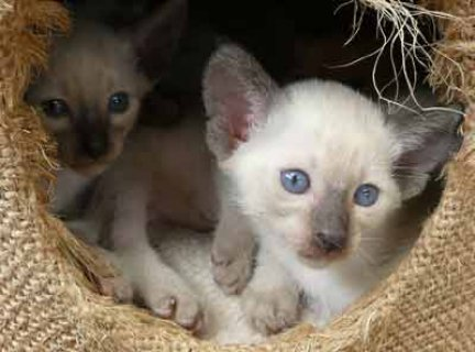Beautiful Siamese Kittens for sale Six beautiful kittens33