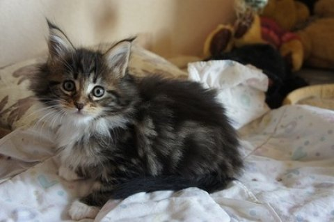 Maine Coon Kittens For Rehoming 22