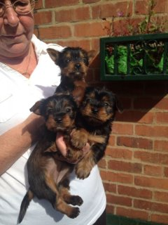 Adorable Female TeaCup Yorkie Puppy Available