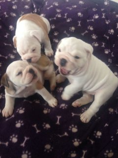 Well Trained Gorgeous English Bulldog Puppies.