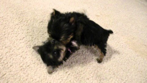 Adorable Yorkie Puppies For Adoption. 1