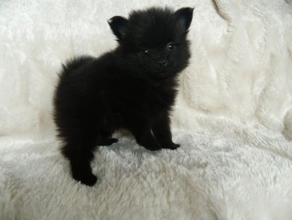 Black And Grey Teacup Pomeranian Puppies For Sale 1