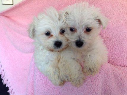 Snow white bichon frise puppies for adoption1w