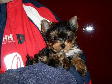 Awesome Cuties Teacup Tiny Yorkie puppies for free Adoption.