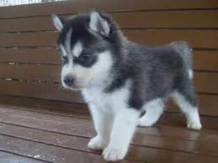 adorable siberian husk puppies for adoption