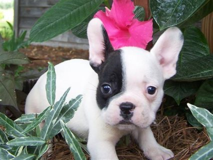 Two Gorgeous French Bulldog Puppies for adoption222