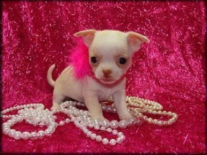 Beautiful Chihuahua Puppies Available Both Toy And Teacup Sizes1