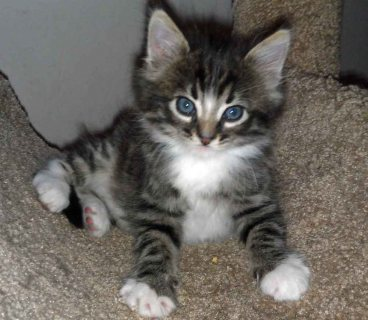 Maine Coon Kittens For Rehoming 1