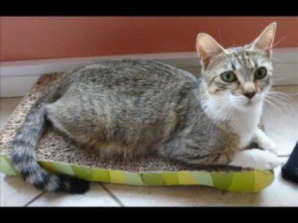 12 Weeks Old Tabby Kittens