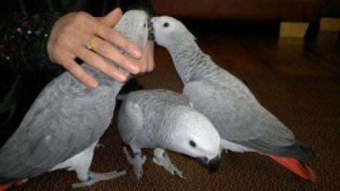 Pair of Talking African Grey parrots $400.00