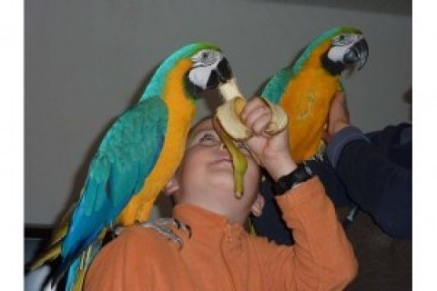 Talking Pair of Blue and Gold Macaws