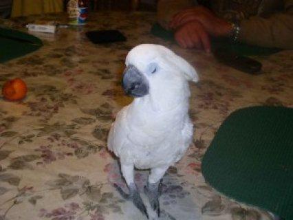 Home Raised Beautiful Umbrella Cockatoo Parrot for Adoption