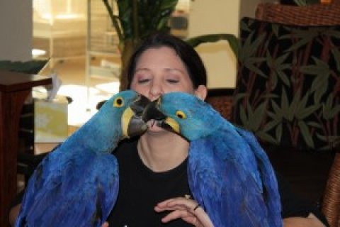 EXTREMELY TAME HYACINTH MACAWS PARROTS FOR SALE